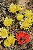 Cleretum and Gazania flowers Namaqualand South Africa