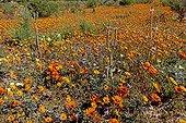 African daisies Gazanies and Blue karoo daisies in bloom