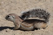 Ground Squirrel digging in the shadow of its tail Kgalagadi