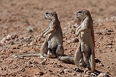Ground Squirrels male alert Kgalagadi South Africa