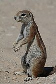Ground Squirrel male alert Kgalagadi South Africa