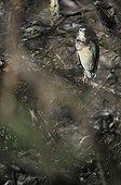 Night Heron on Alder fall Dombes France ; Bird Park