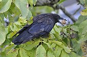 Black crow with a nut in its beak Centre France