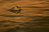 Perez' frog in the water at dusk Spain