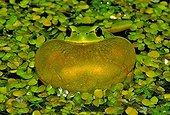 Tree Frog male singing in aquatic vegetationSpain