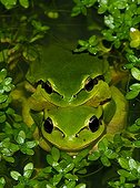 Tree Frogs mating in water Spain