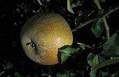 Apple 'Court pendu gris'