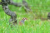 Red partridge in a vineyard in the spring France
