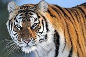 Portrait of Siberian Tiger in winter