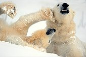 Jousting love between Polar Bears in the snow