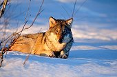 Omega wolf lying in the snow away from other
