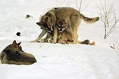 Submission scene between Wolves in the snow