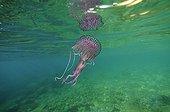 Méduse pélagie sous la surface Mer Méditerranée