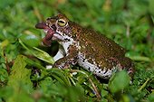 Natterjack toad eating a worm Spain