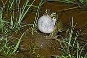 Natterjack toad singing in water Spain