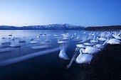 Wintering Whooper Swans on Lake Kusharo Akan Japan