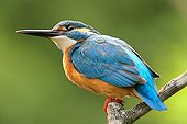 Male Kingfisher looking up on a branch Portugal