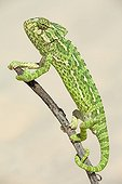 Common Chameleon on a branch Portugal