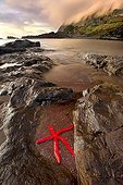 Red starfish at low tide Corvo Azores Portugal
