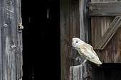 Barn Owl perched on the door of a barn with prey in talons ; The owl is holding a small rodent in its talons.