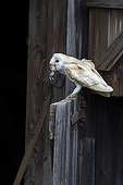 Barn Owl perched on the door of a barn with prey in bill ; The owl is holding a small rodent in its bill.