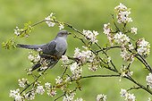 Common Cuckoo perched on an apple tree at spring GB