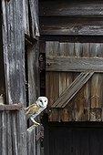 Barn Owl perched on a barn door