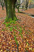 Beech dead leaves carpet at Gorbeia NP in autumn Spain