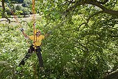 Man with ropes pruning a 25 meters plane tree