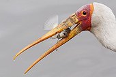 Yellow billed Stork and prey in beak Kruger South Africa