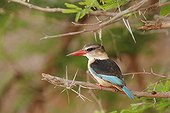 Brown hooded Kingfisher on a branch Kruger South Africa