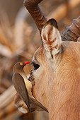Red-billed Oxpeckers on Impala head Kruger South Africa