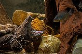 Alligator snapping turtle fishing by luring fish with tongue