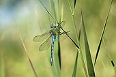 Male Emperor Dragonfly on a reed Provence France