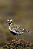 Eurasian Golden plover female ground