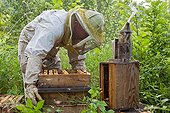 Beekeeper in an apiary hives type Warré France ; Hives manipulation to create swarms division