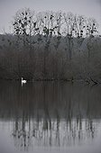 Male Mute Swan on a lake in winter Centre France