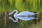Male Mute Swan swimming in water filtration France