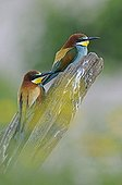 Couple of European Bee-eater Lower Valley Doubs France