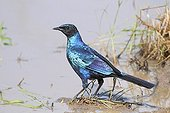 Greater Blue-eared Glossy-Starling on bank South Africa