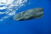 Sperm Whale subsurface Caribbean Sea Dominica