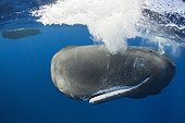 Sperm Whale subsurface Caribbean Sea Dominica