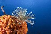 Fan Worm on red Sponge Caribbean Sea Dominica