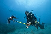 Invasive Lionfish speared by Diver Caribbean Sea Dominica