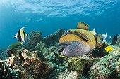 Baliste titan sur le récif  - Océan Indien Maldives