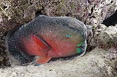 Cocoon envelops Sleeping Parrotfish Indian Ocean Maldives