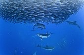 Blue jack mackerel being preyed upon by common dolphins
