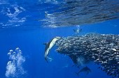 Common dolphins attacking a dense ball of blue jack mackerel