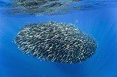 Common dolphinand large ball of blue jack mackerel Azores