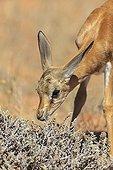 Young Springbok smelling plants Kalahari RSA